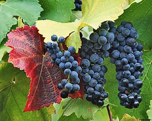 Table grapes must be harvested at the right time